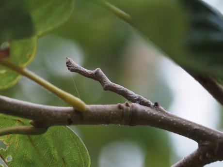 ハミスジエダシャク幼虫2