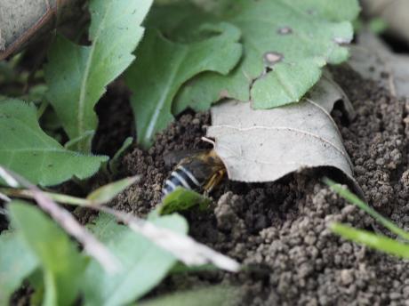 ハナバチの一種