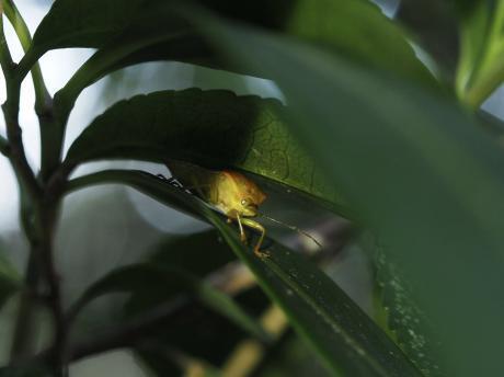 ハサミツノカメムシの一種