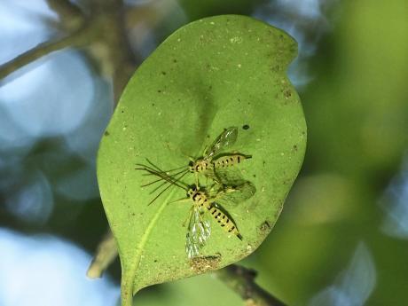 ミノオキイロヒラタヒメバチ4