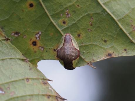 カギバイラガ幼虫2