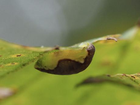 カギバイラガ幼虫