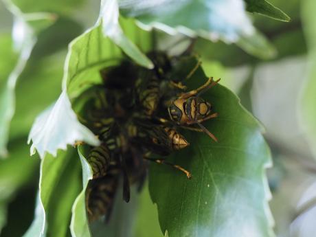 キアシナガバチ集団2