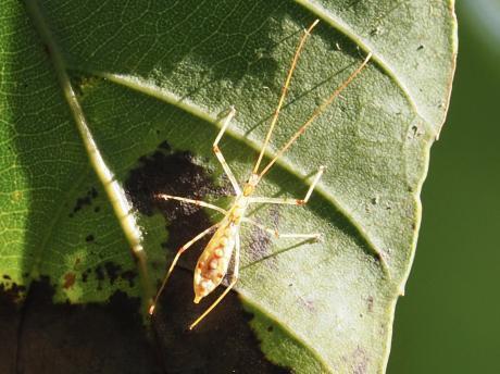 ヒゲナガサシガメ幼虫