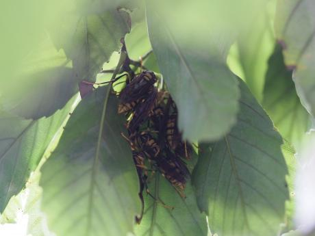 キアシナガバチ集団