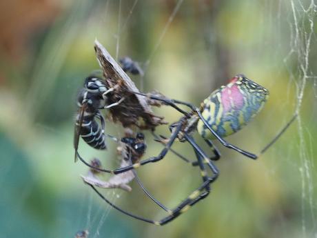 クロスズメバチ&ジョロウグモ