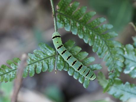 ツマキリヨトウの一種・幼虫
