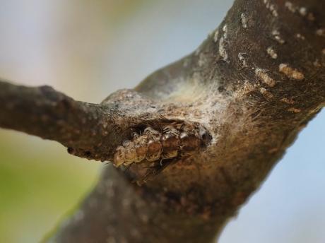 リンゴコブガ越冬巣か