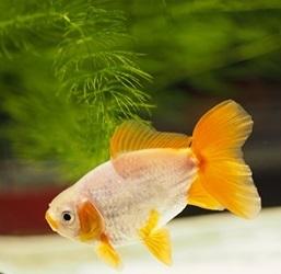 金魚品評 (7)