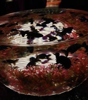 金魚品評 (1)
