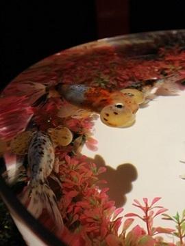 金魚品評 (3)