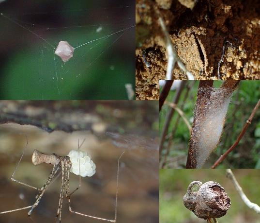 20190615蜘蛛4枚