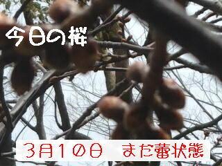 11日の桜