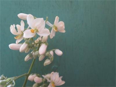 モリンガの花IMG_6453