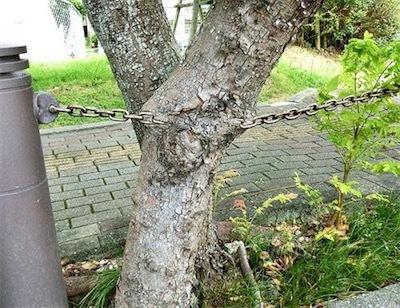 鉄の鎖をくわえ込んだタイワンモクゲンジ58f21a597ca2204a652338fa7015c9ca