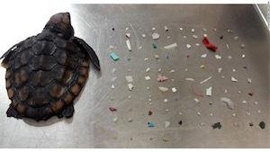 死んだ子ガメから100以上のturtle-died-after-ingesting-104-plastic-pieces