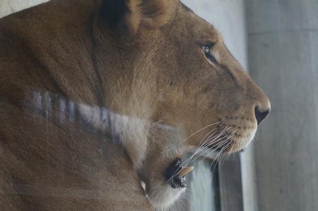 あくびをするメスライオン