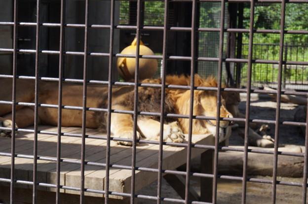 昼寝をするオスライオン