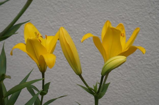 黄色いユリ