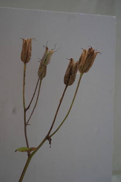 オダマキの花の後