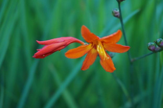 ユリ科の花だと思います