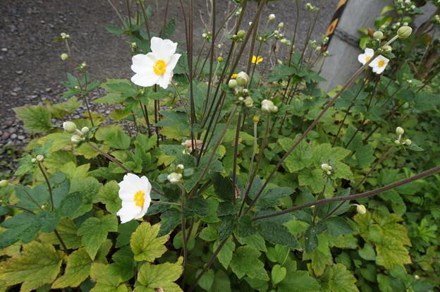 近所の人が植えた花