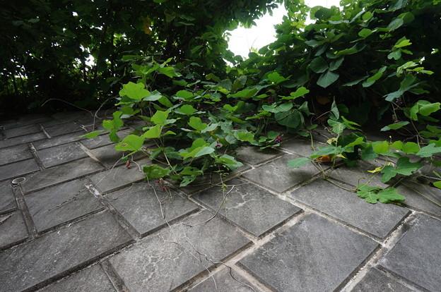 石垣を伝う植物
