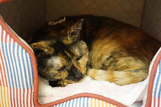 猫ベッドでウトウト
