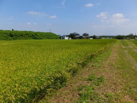 比例円筒分水堰付近の田んぼ・寄居町用土