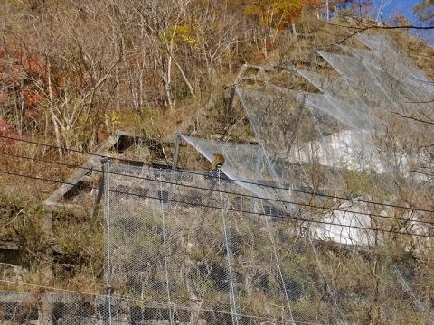 深城ダム左岸山側のニホンザル