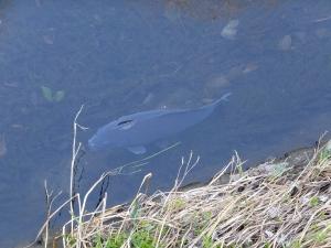 神田川の鯉
