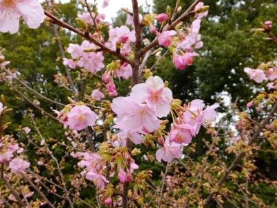 麻生川の早咲き桜