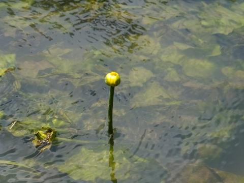 貫抜川放水路のコウホネ(河骨)の花