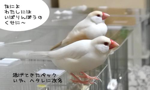文鳥たちの様子_7