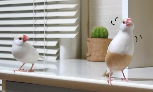 文鳥たちの様子_8