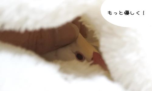 ぴのしゃん、排泄腔にポリープ-2