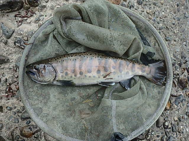 2019最後の渓流釣りは中津川10