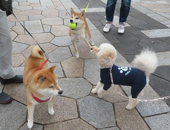1D01  麦ちゃん 柴犬2才 0611