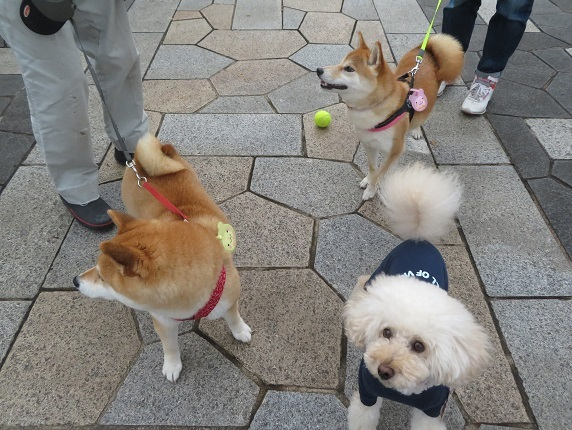 2D02 麦ちゃん 柴犬2才 0611