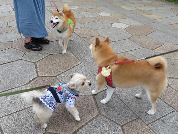 1C03  メイちゃん柴犬7才8.13 0815