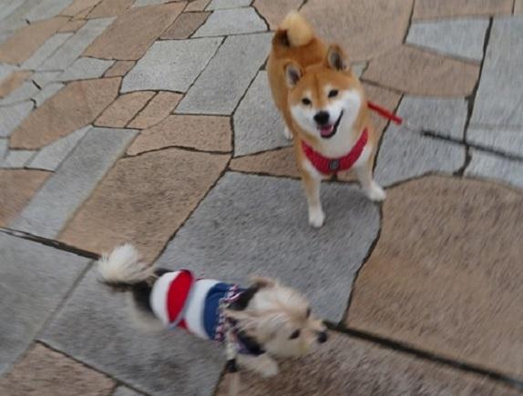 1C02S  メイちゃん 柴犬7才 0926  0929