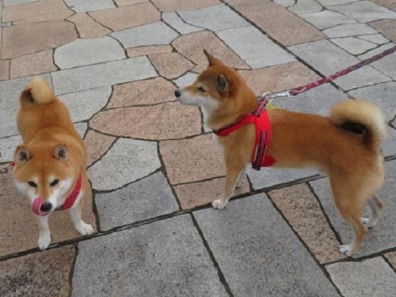 3C05S 柴犬カップル 0929