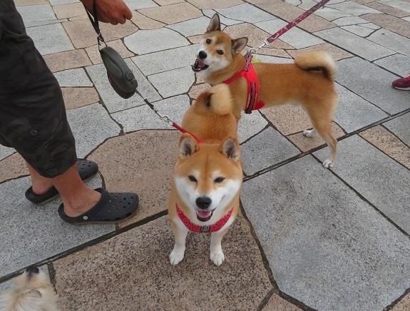 4C06 柴犬カップル 0929