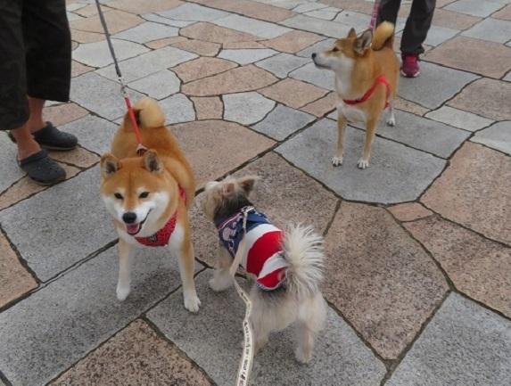 6C09S 柴犬カップル 0929