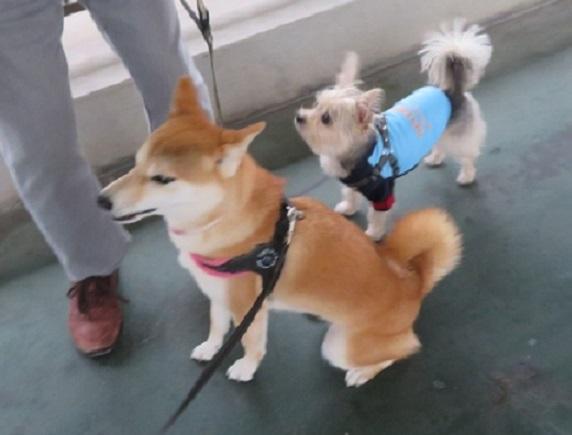 5E01S 麦ちゃん 柴犬2才 1004