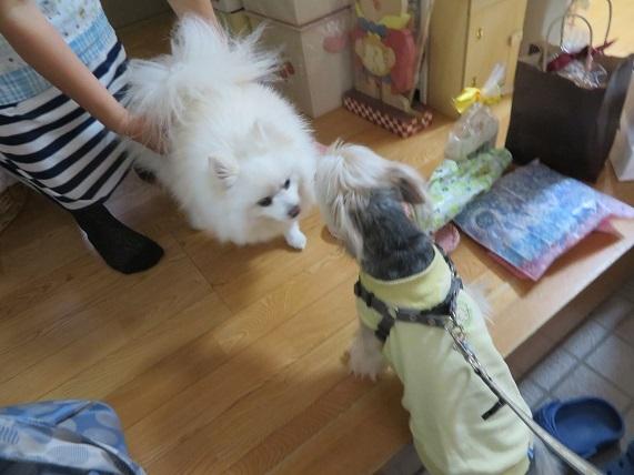 4B02 みかんちゃん ポメ10才2015.12.8 1103