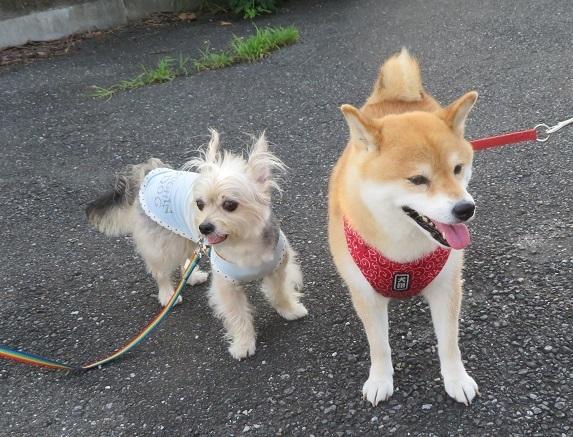 5メイちゃん 柴犬7才 0806 20190804