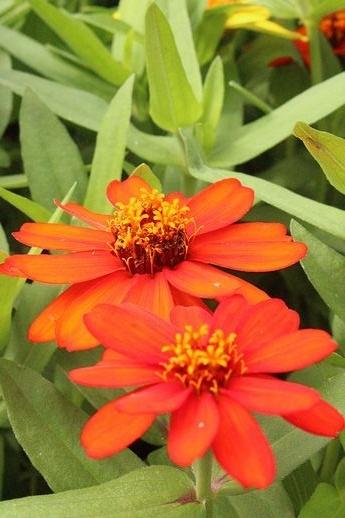 IMG_9708ジニア筒状花