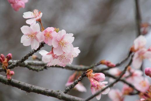 IMG_8623河津桜