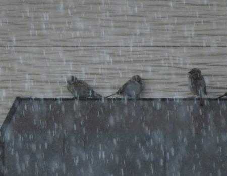 豪雨と雀 2019-07-29 008